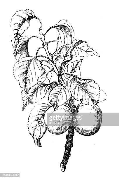 Plantes de botanique antique illustration de gravure: Prunus armeniaca (ansu abricot, abricot sibérien)