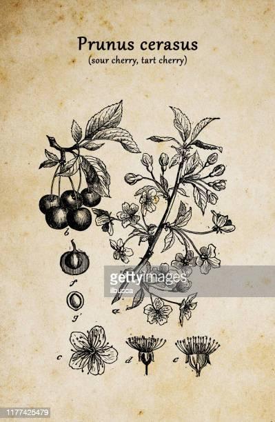 植物植物アンティーク彫刻イラスト:プルナスセラサス(サワーチェリー、タルトチェリー、ドワーフチェリー) - サワーチェリー点のイラスト素材/クリップアート素材/マンガ素材/アイコン素材
