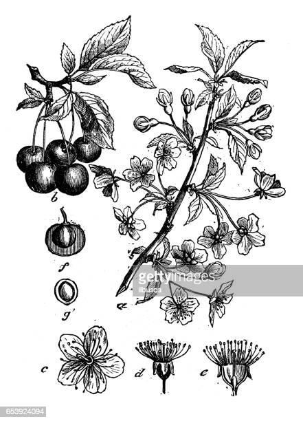 植物植物アンティーク彫刻イラスト: サクラ属 cerasus (ドワーフ チェリー タルト チェリー、サワー チェリー) - サワーチェリー点のイラスト素材/クリップアート素材/マンガ素材/アイコン素材