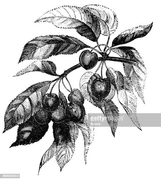 Botany plants antique engraving illustration: Prunus cerasus (sour cherry, tart cherry, dwarf cherry)