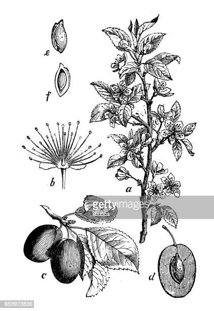 Botany plants antique engraving illustration: Prunus domestica (plum tree)