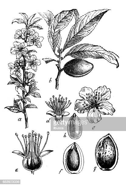 Botany plants antique engraving illustration: Prunus dulcis, syn. Prunus amygdalus (almond)