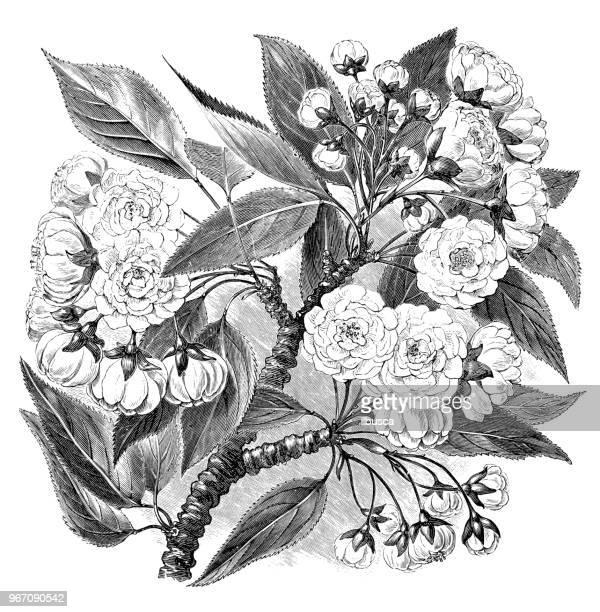 illustrations, cliparts, dessins animés et icônes de plantes de botanique antique illustration de gravure: prunus serrulata, cerisier, japonais colline de cerise, cerise oriental, cerise asiatique orientale - cerisier japonais