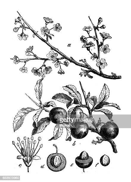 botany plants antique engraving illustration: prunus spinosa (blackthorn, sloe) - branch plant part stock illustrations