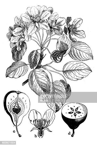 Plantes de botanique antique illustration de gravure: Pyrus communis (Pear)