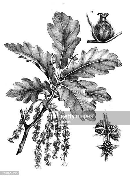 botany plants antique engraving illustration: quercus robur (common oak, pedunculate oak, european oak, english oak) - oak leaf stock illustrations