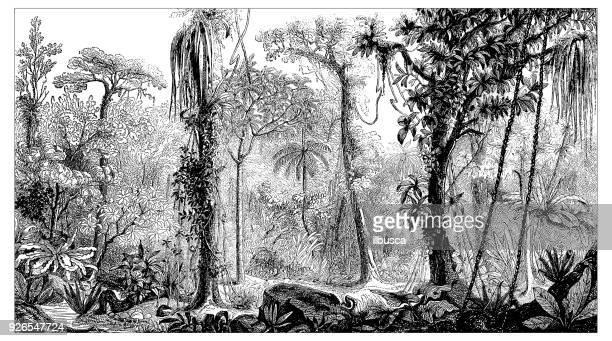 ilustrações, clipart, desenhos animados e ícones de plantas de botânica antiga ilustração de gravura: floresta tropical - gravura