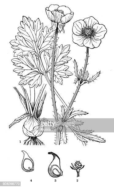 Plantes de botanique antique illustration de gravure: Ranunculus bulbosus (navet de St. Anthony, renoncule bulbeuse)