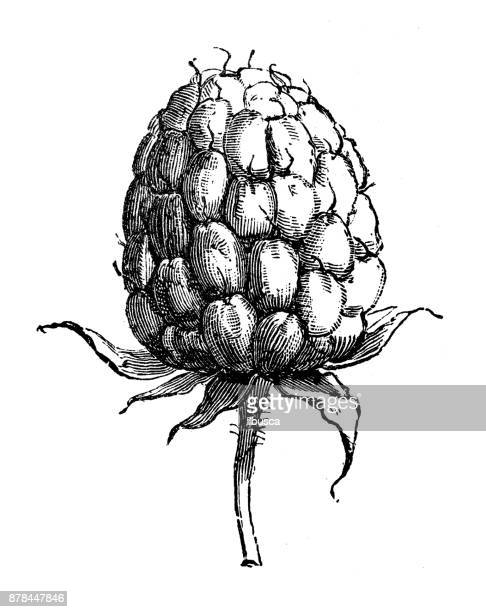 botany plants antique engraving illustration: raspberry - raspberry stock illustrations, clip art, cartoons, & icons