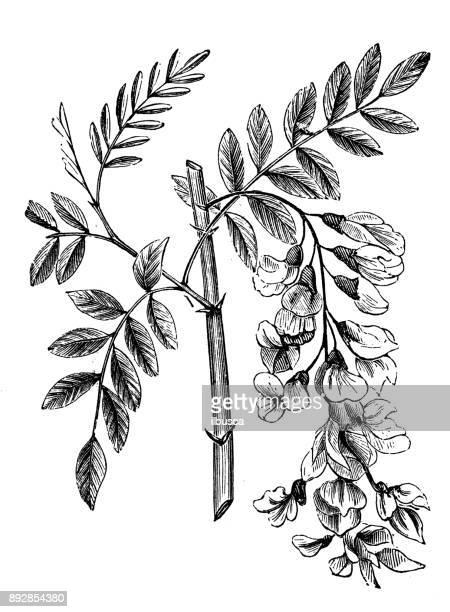 植物植物アンティーク彫刻イラスト: ニセ (偽アカシア ニセ アカシア) - アカシア点のイラスト素材/クリップアート素材/マンガ素材/アイコン素材