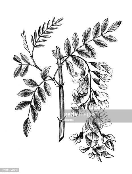 Botany plants antique engraving illustration: Robinia pseudoacacia (black locust)