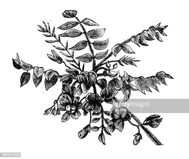 Botany plants antique engraving illustration: Rose Acacia or Moss Locust