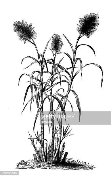 植物植物アンティーク彫刻イラスト: サトウキビ高 (サトウキビ) - サトウキビ点のイラスト素材/クリップアート素材/マンガ素材/アイコン素材