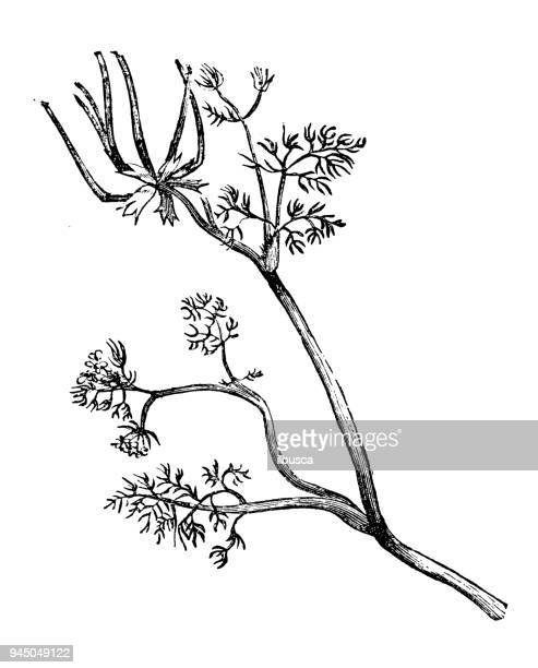 Botany plants antique engraving illustration: Scandix pecten-veneris (shepherd's-needle, Venus' comb)