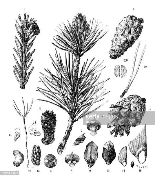 botany plants antique engraving illustration: scots pine (pinus sylvestris) - pine wood material stock illustrations, clip art, cartoons, & icons