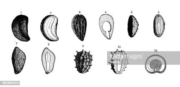 Botany plants antique engraving illustration: Seeds