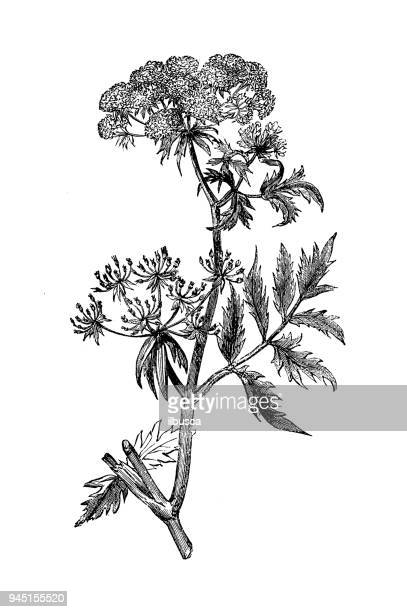 botany plants antique engraving illustration: sium angustifolium (water parsnip) - parsnip stock illustrations, clip art, cartoons, & icons