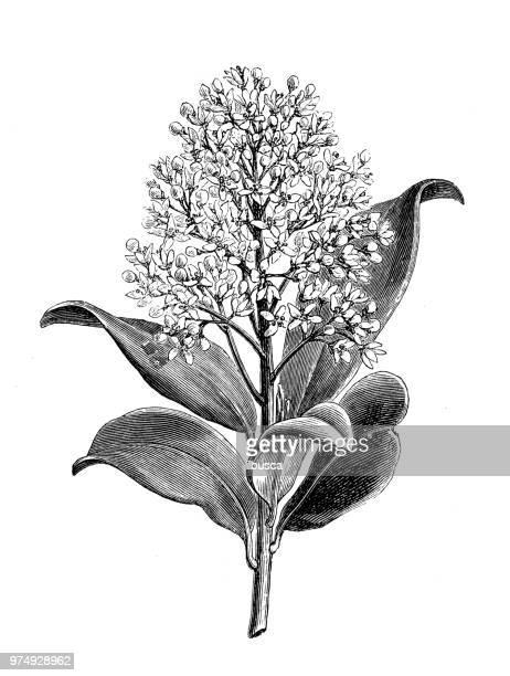 植物植物アンティーク彫刻イラスト: ミヤマシキミ属ジャポニカであります。 - ミカン科点のイラスト素材/クリップアート素材/マンガ素材/アイコン素材