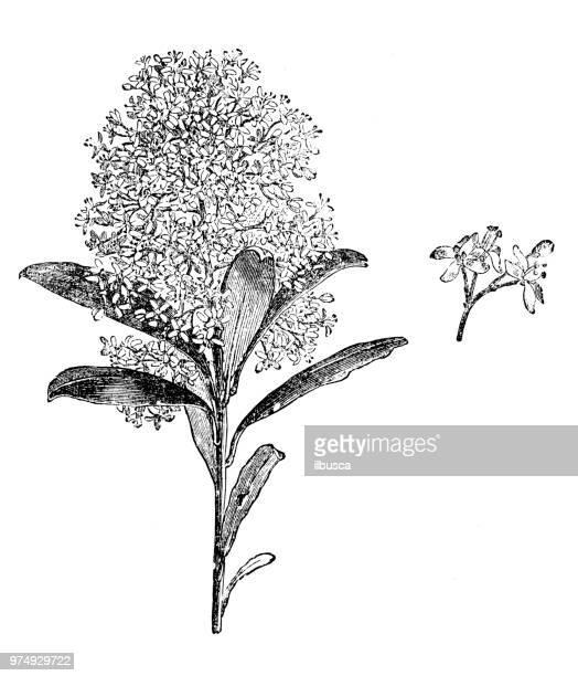 植物植物アンティーク彫刻イラスト: ミヤマシキミ属風疹 - ミカン科点のイラスト素材/クリップアート素材/マンガ素材/アイコン素材