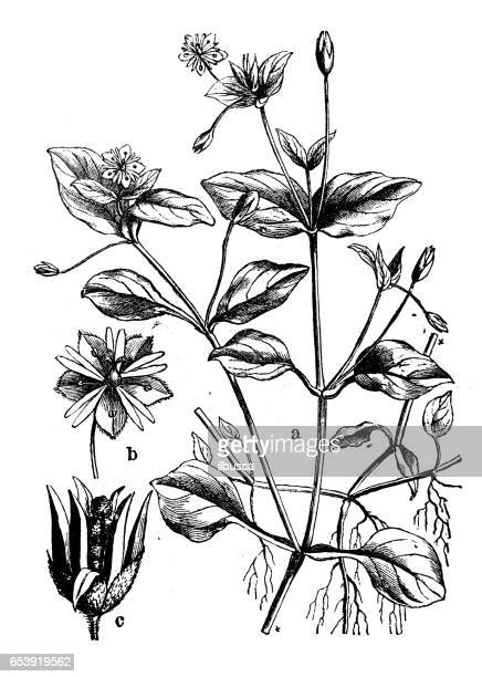 botany plants antique engraving illustration: stellaria media (chickweed) - chickweed stock illustrations, clip art, cartoons, & icons