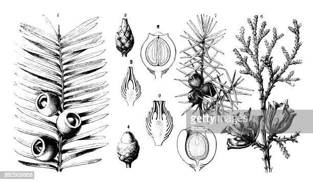 botany plants antique engraving illustration: taxus baccata (yew), platycladus orientalis (chinese thuja), juniperus communis (juniper) - juniper tree stock illustrations