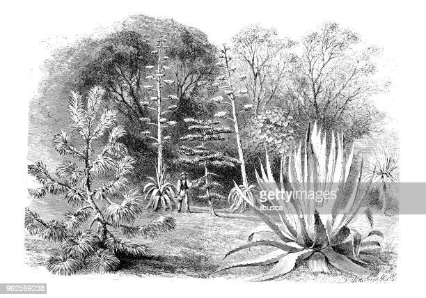 Botany plants antique engraving illustration: Thread leaved Pine, Agave and Yucca