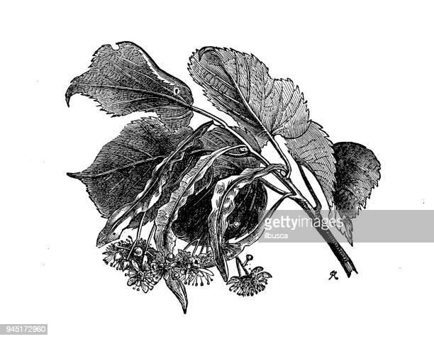 botany plants antique engraving illustration: tilia europaea (lime) - citrus fruit stock illustrations, clip art, cartoons, & icons