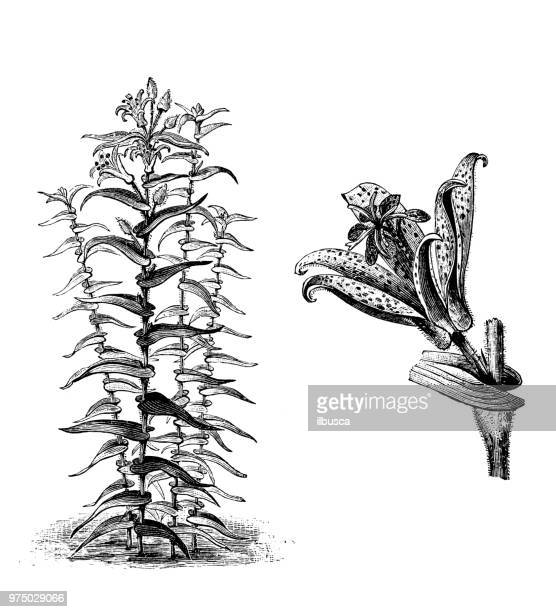 botany plants antique engraving illustration: tricyrtis hirta - st. kilda stock illustrations