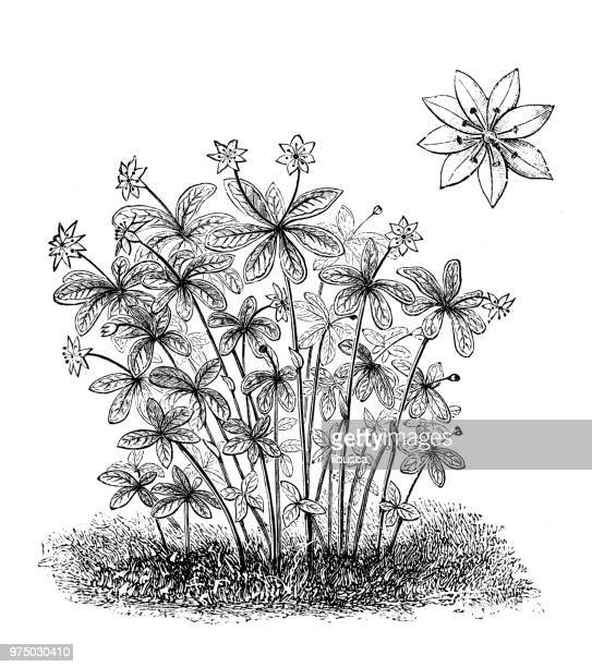 botany plants antique engraving illustration: trientalis europaea, chickweed wintergreen, arctic starflower - chickweed stock illustrations, clip art, cartoons, & icons