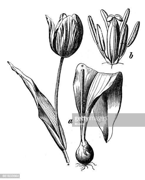 植物植物アンティーク彫刻イラスト: チューリップ比較 (ディディエのチューリップや庭のチューリップ)