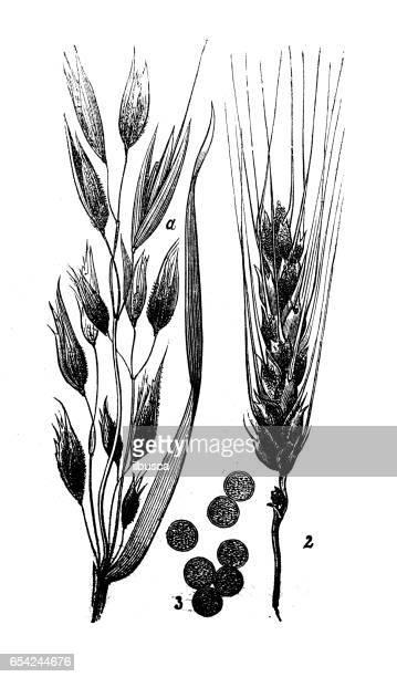 botany plants antique engraving illustration: ustilago hordei (covered smut of barley) - barley stock illustrations, clip art, cartoons, & icons