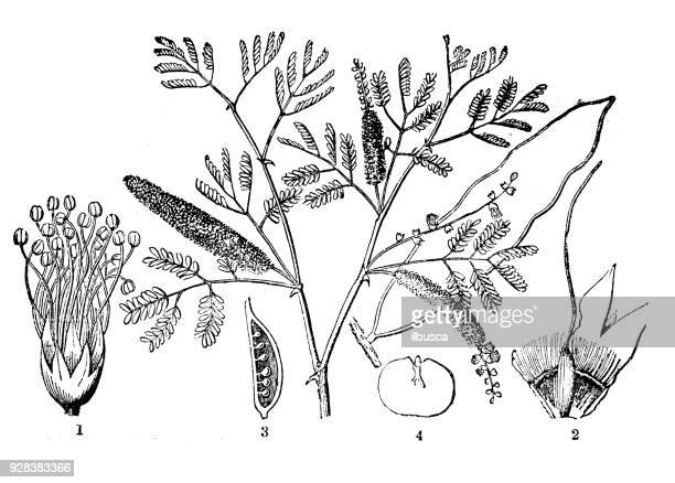 illustrazioni stock, clip art, cartoni animati e icone di tendenza di botany plants antique engraving illustration: vachellia nilotica (gum arabic tree, babul, thorn mimosa, egyptian acacia) - mimosa fiore