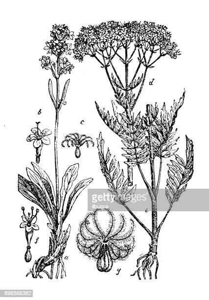 botany plants antique engraving illustration: valeriana officinalis (valerian) - valerian plant stock illustrations