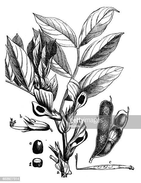 botany plants antique engraving illustration: vicia faba (broad bean, fava bean) - broad bean stock illustrations, clip art, cartoons, & icons