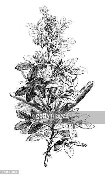 botany plants antique engraving illustration: vicia faba (broad bean, fava bean, faba bean, field bean, bell bean, tic bean) - broad bean stock illustrations, clip art, cartoons, & icons