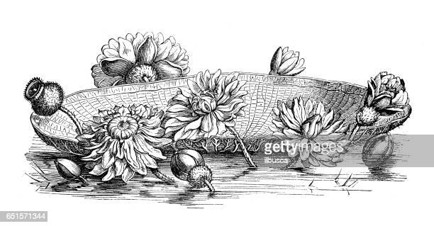 Botany plants antique engraving illustration: Victoria amazonica water lily