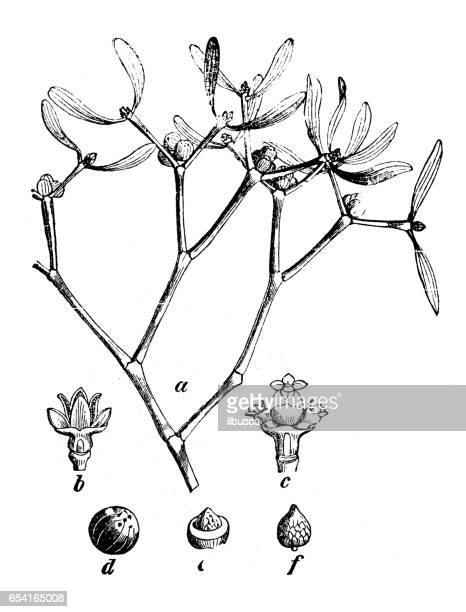 botany plants antique engraving illustration: viscum album (european mistletoe, common mistletoe, mistletoe) - mistletoe stock illustrations