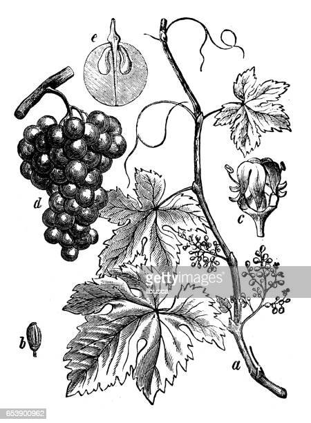 botany plants antique engraving illustration: vitis vinifera (common grape vine) - grape stock illustrations, clip art, cartoons, & icons
