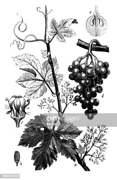 botany plants antique engraving illustration: vitis vinifera (common grape vine) - vine stock illustrations