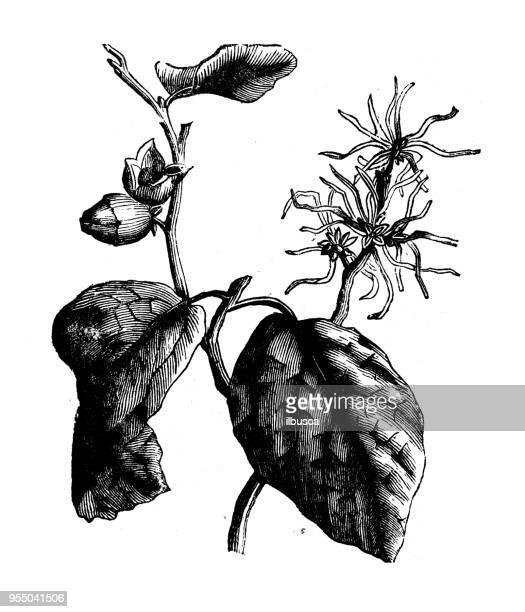 60 Top Hazel Tree Stock Illustrations, Clip art, Cartoons and Icons - Getty Images
