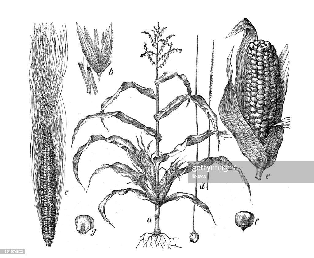 Botany plants antique engraving illustration: Zea mays (Maize, corn) : stock illustration