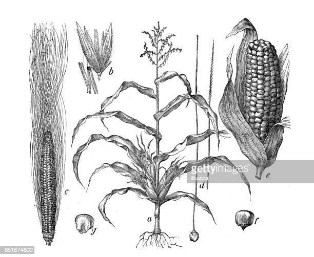 botany plants antique engraving illustration: zea mays (maize, corn) - corn stock illustrations, clip art, cartoons, & icons