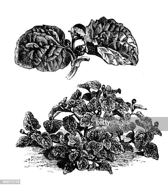 ilustraciones, imágenes clip art, dibujos animados e iconos de stock de botánica plantas vegetales antiguos ilustración grabado: acmella oleracea (berro brasileño planta del dolor de muelas, paracress, electric daisy) - dolor de muelas