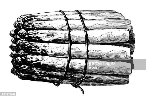botany vegetables plants antique engraving illustration: asparagus - asparagus stock illustrations, clip art, cartoons, & icons