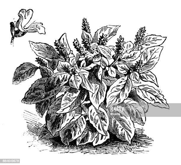 botany vegetables plants antique engraving illustration: basil - basil stock illustrations, clip art, cartoons, & icons