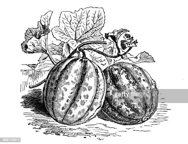 Botany vegetables plants antique engraving illustration: Bellegarde Melon