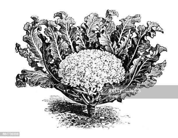 botany vegetables plants antique engraving illustration: broccoli cauliflower white - broccoli stock illustrations, clip art, cartoons, & icons