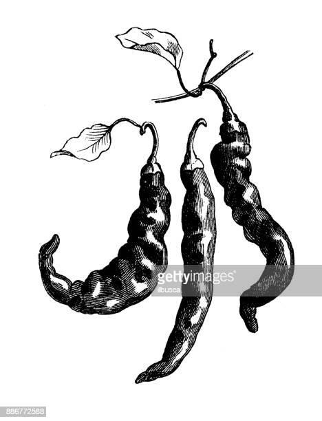 Botany vegetables plants antique engraving illustration: Cayenne Peppers