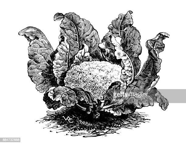 botany vegetables plants antique engraving illustration: chalon cauliflower - cauliflower stock illustrations, clip art, cartoons, & icons