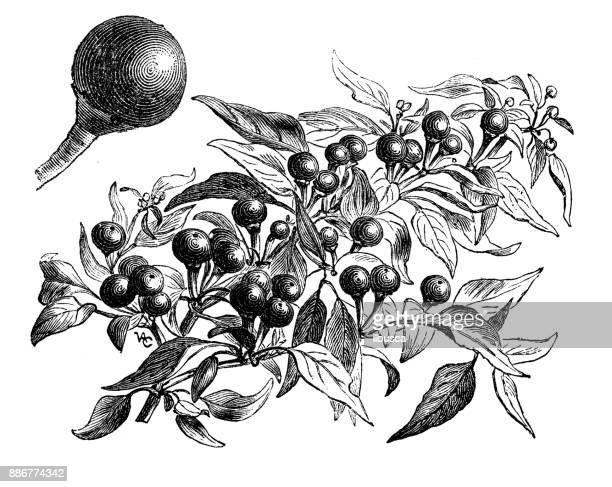 Botany vegetables plants antique engraving illustration: Cherry Peppers